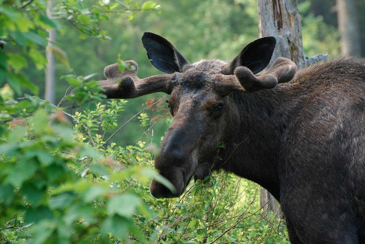Moose Eyes http://whitemountainsojourn.blogspot.com/2010/06/alces-alces-elegant-moose.html