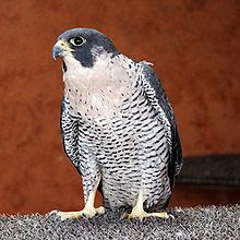 Falcão peregrino, a ave mais rápida do mundo