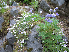 Spreading Phlox with Lupine