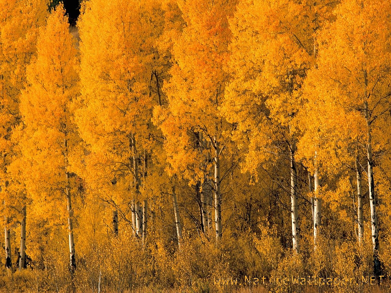 nature wallpaper aspen trees montana urban art wallpaper