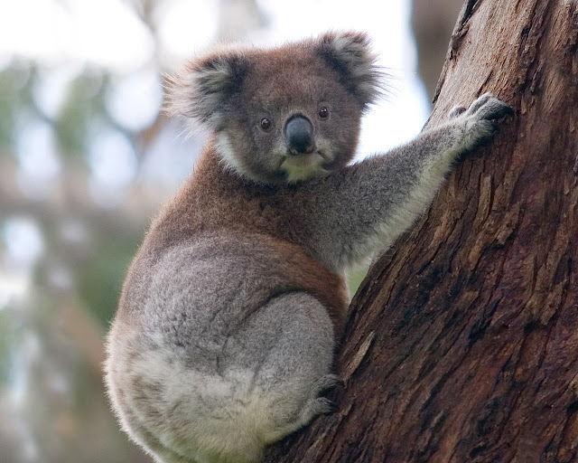 Koala Bear Animal Wallpaper