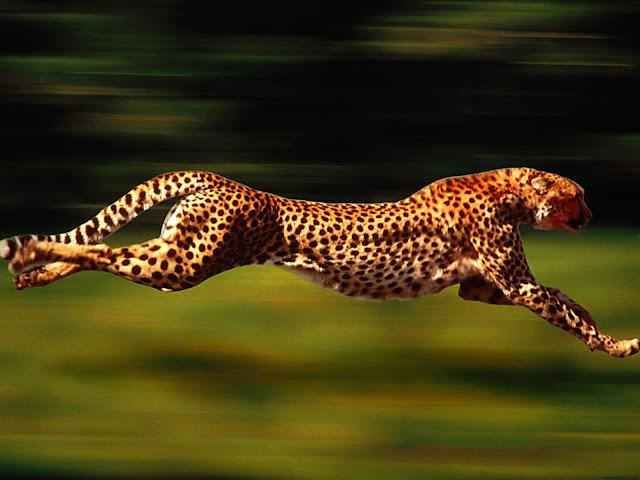 Running cheetah animal wallpaper