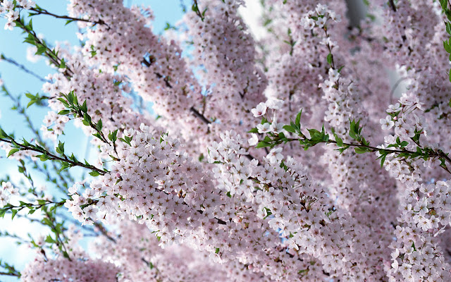 Purple Summer Bloom Cherry Blossom Wallpaper