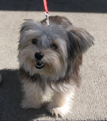 What Does A Morkie Dog Look Like