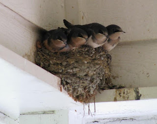 Photo of fledglings on nest, taken on July 25, 2008 w/ Canon PowerShot SX100 set on Auto, 10X zoom, no flash