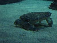 Another sea turtle, feeding