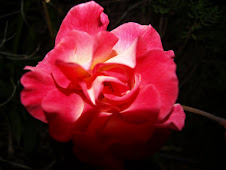 My Mom&#39;s Rose...