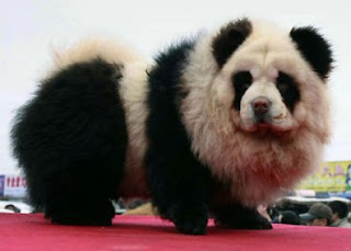 Perros Chow Chow pintados como osos panda