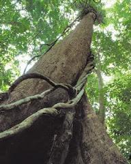 pokok ketereh
