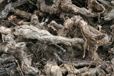 Vines uprooted - Languedoc
