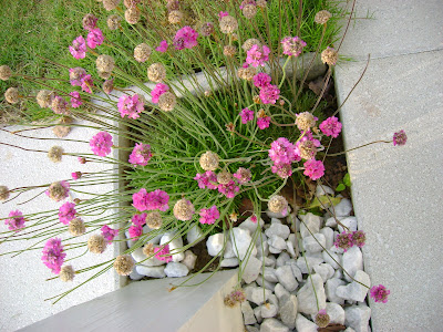 Garden View Sea Pink Grass Like Perennial Pink Flowers Ground Cover
