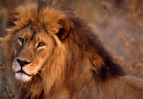 kenya animals lion. wild animals pictures lion