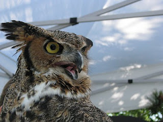 Photo of Einstein the Great Horned Owl