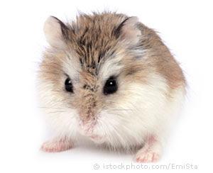 roborovski hamster 000003009208X - Hamster T�rleri