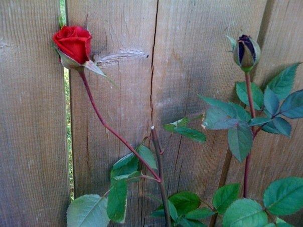 [WIld+Rose]