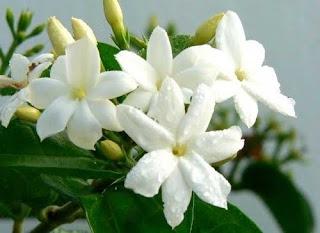 Всичко за цветята! C5iol4b4_jasmin-leten