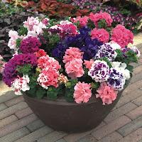 В градината според сезона! Petunia_Double_Fantastic