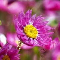 Сухите цветя  Helipterum_thumb
