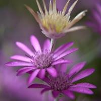 Сухите цветя  Xeranthemum_thumb