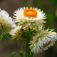 Сухите цветя  Helychrisum_thumb