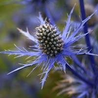 Сухите цветя  Eryngium_thumb