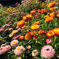 Сухите цветя  Helichrysum_thumb
