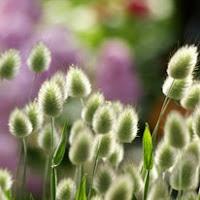 Сухите цветя  Lagurus_thumb