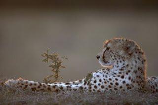 [Chillin'+Cheetah.jpg]
