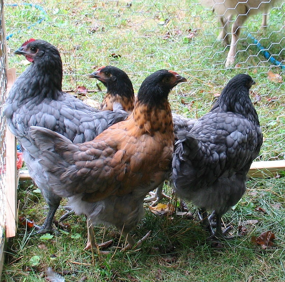 Blue Orpington Chickens