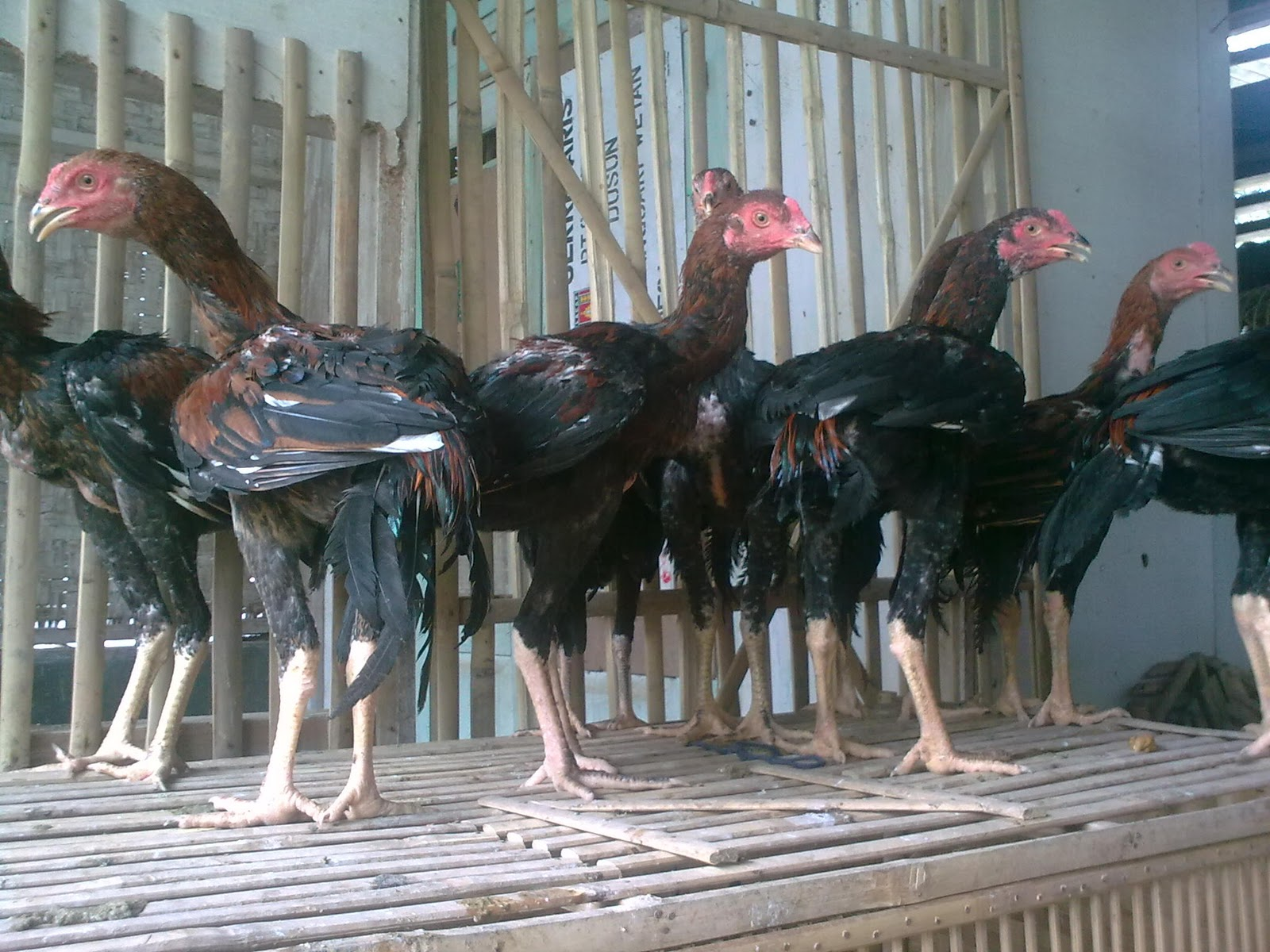 Download image Foto Ayam Jago Bangkok Petarung PC, Android, iPhone and ...