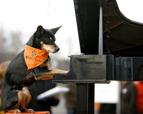 Cane pianista