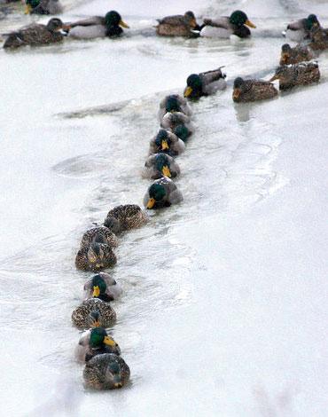 Anatre in coda causa neve