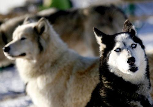 Husky fotografato dove in teoria non avrebbe dovuto essere