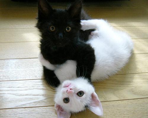Gatti yin e yang