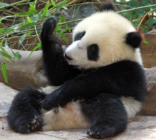 La ginnastica svogliata del panda