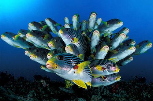 Il nuoto sincronizzato dei pesci