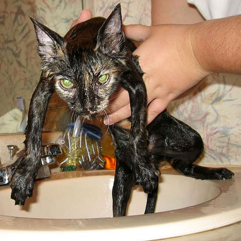 Gatto che odia essere lavato