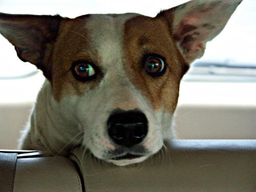 Cane che non si fida del tassista