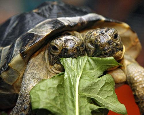 Giano la tartaruga con due teste