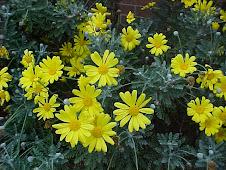 margarita amarilla -euryops pectinatus-