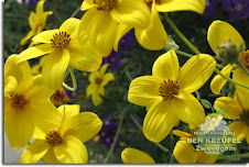 bidens ferulifolium