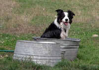 Oliver, a 50-pound Border Collie, has the alertness, size, shiny coat, muscular strength and herding instinct characteristic of his breed. Above, he waits for his tub to be filled with water. Border Collies were one of the 10 breeds studied to learn about the effects of selective breeding on the dog genome. Credit: Eric Tognetti.