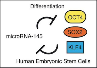 Control of pluripotency of human embryonic stem cells.