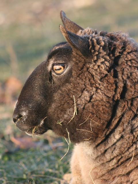 cheviot sheep association
