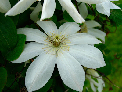 poppular photography white clematis flower