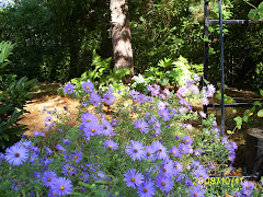 asters and windowboxes