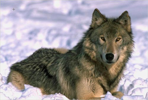 wolf-color-photo.jpg