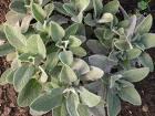 Sálvia - Salvia officinalis