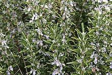 Rosmaninho (Rosmarinus officinalis)