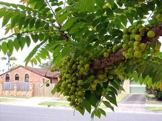 Pohon Ceremai-Cerme